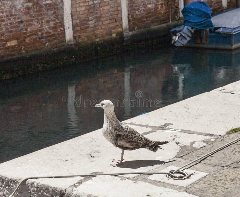 Venedig Italien - en seagull royaltyfri bild