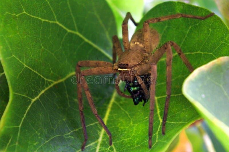Veneno del uso de la araña del Huntsman para inmovilizar la presa del escarabajo fotografía de archivo libre de regalías