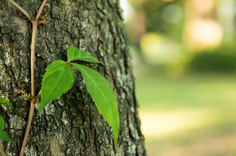Veneno Ivy Leaves de tres en tronco de árbol fotos de archivo