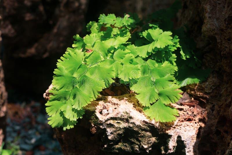 Veneris do capillus do Adiantum ou samambaia de Maidenhair preta do sul clo fotografia de stock