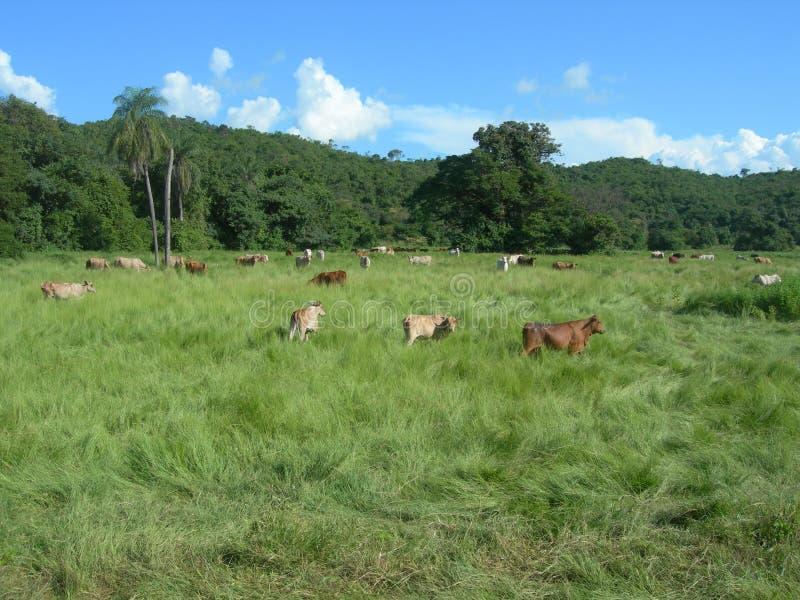 Venezuela, rebanhos animais imagens de stock royalty free