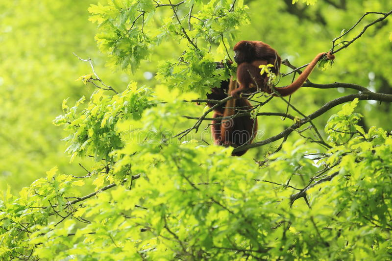 Venezuelan red howler. The couple of Venezuelan red howlers sitting on the tree royalty free stock photo