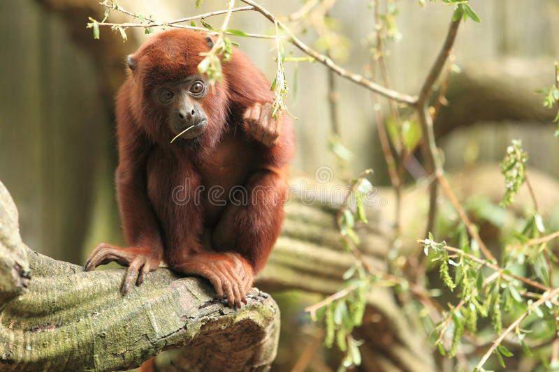 Venezuelan red howler. Sitting on the wood stock photography