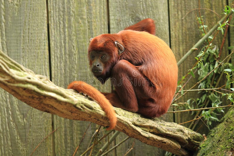 Venezuelan red howler. The young venezuelan red howler on the wood stock photography