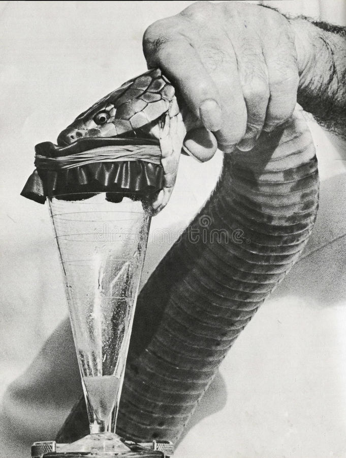 Venom extraction. Extracting venom from a poisonous snake stock photography