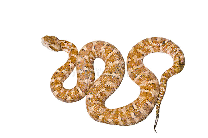 Venomous snake 2 royalty free stock photos