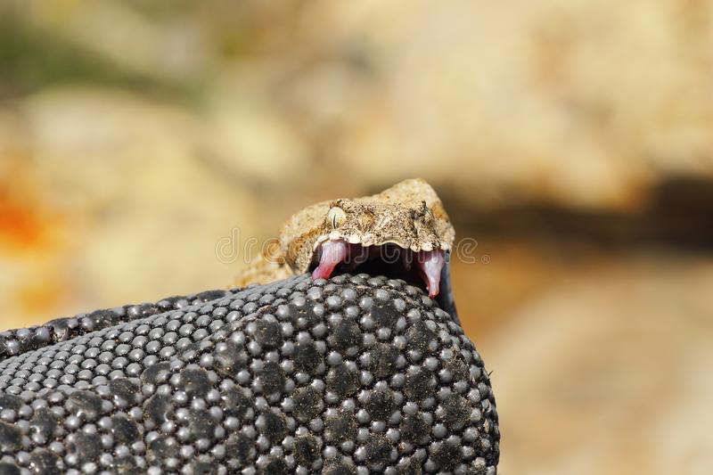 Venomous snake bites. Macrovipera lebetina schweizeri, the Milos viper, biting on a protective glove stock photos