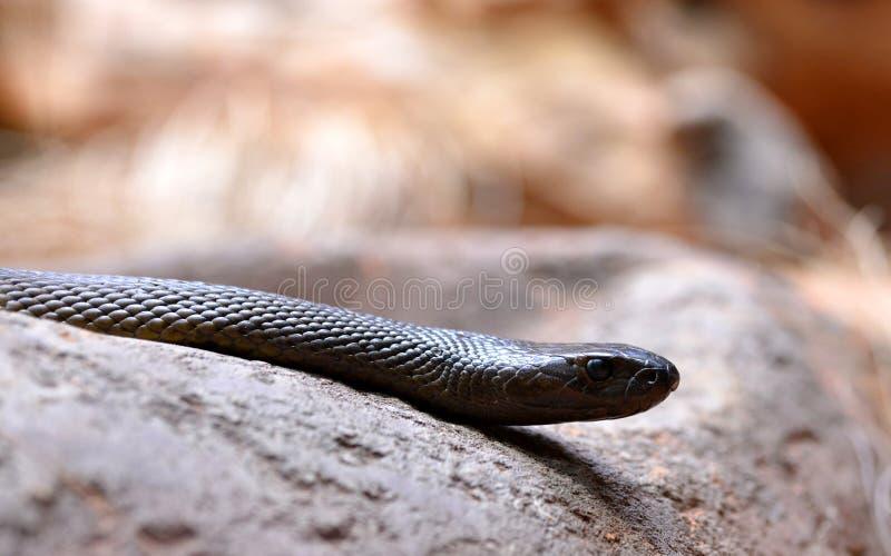 Venomous snake Inland taipan Oxyuranus microlepidotus royalty free stock image