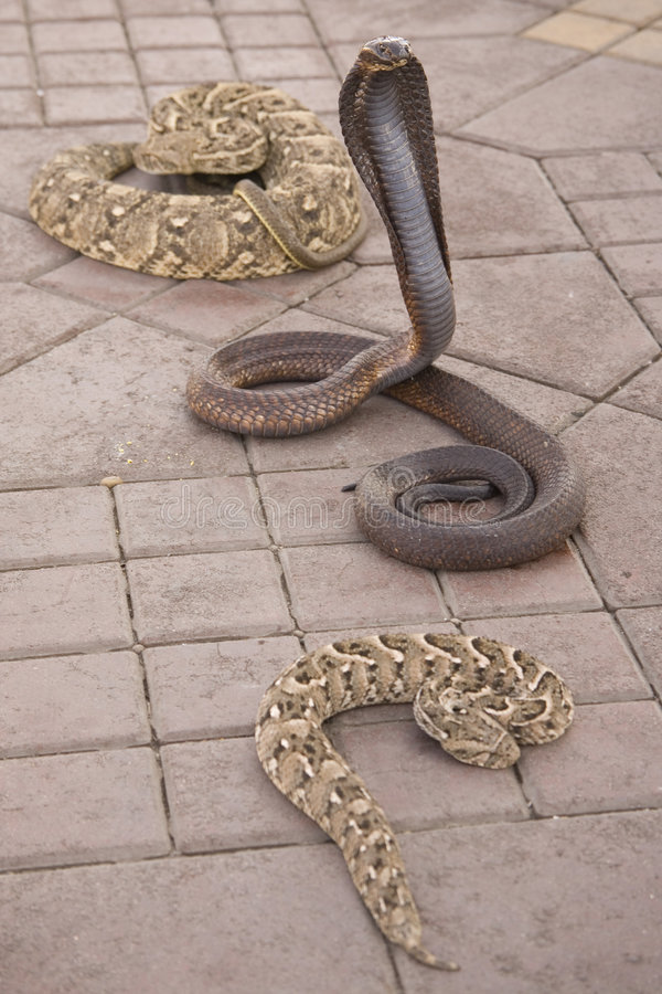 Download Venomous Snakes On Pavement Stock Images - Image: 3612504