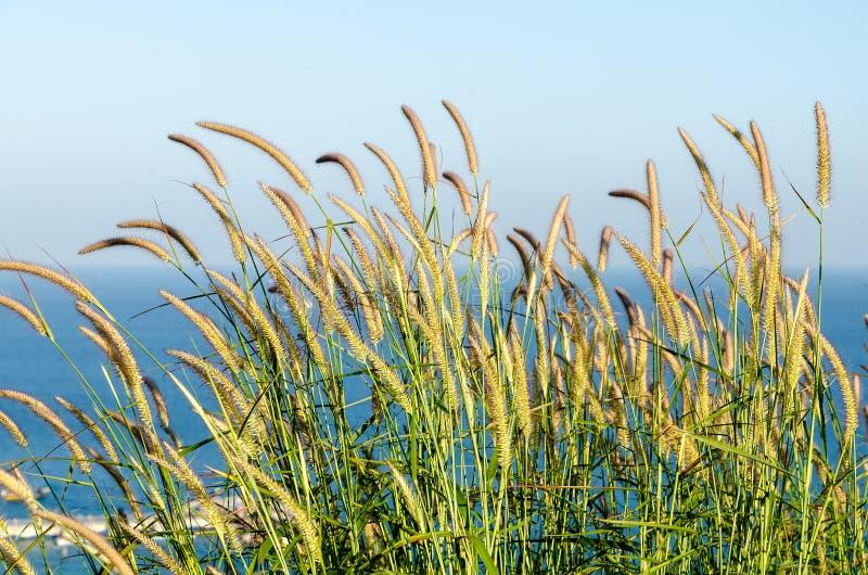 Vent soufflant par l'herbe de fleur images stock