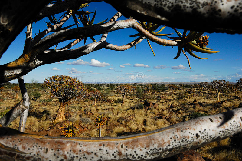 Ventana al bosque del árbol de la aljaba (Namibia) imagen de archivo libre de regalías