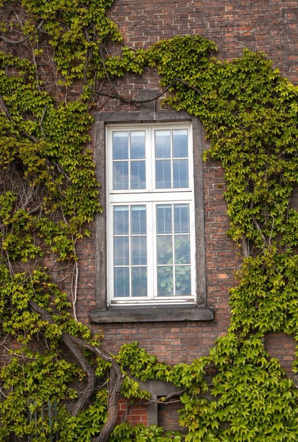 Ventana blanca en la pared de ladrillo rodeada con las plantas verdes de la liana imagenes de archivo