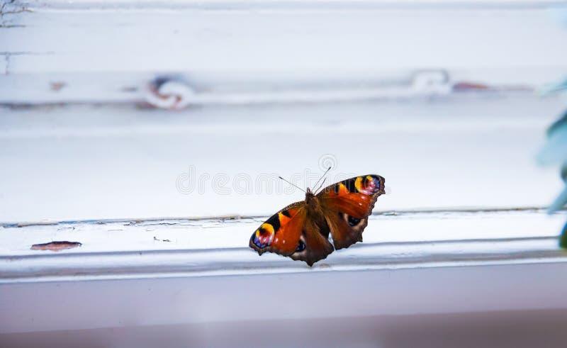 Ventana de la mariposa de pavo real fotos de archivo