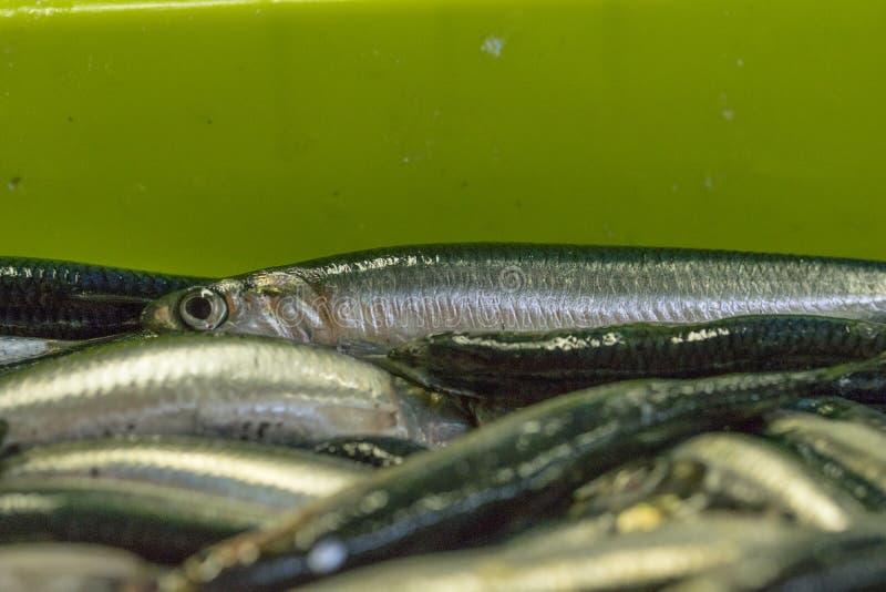 Vente de scombrus de Scomber, verdel, cavalla, sarda, anchois image stock