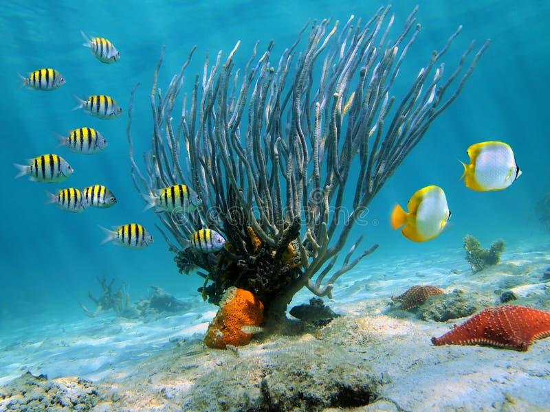 Ventilador de mar imagen de archivo
