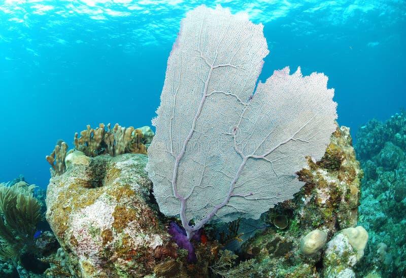 Ventilador de mar en el filón coralino fotografía de archivo