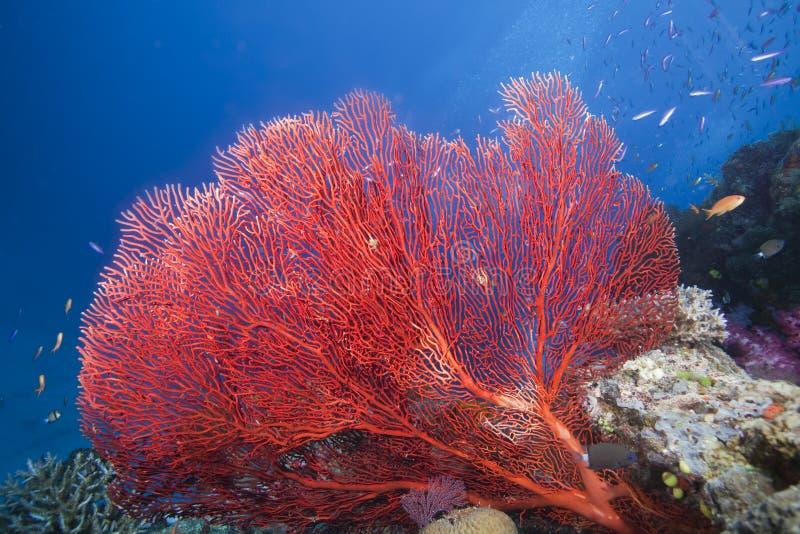 Ventilador de mar, Fiji