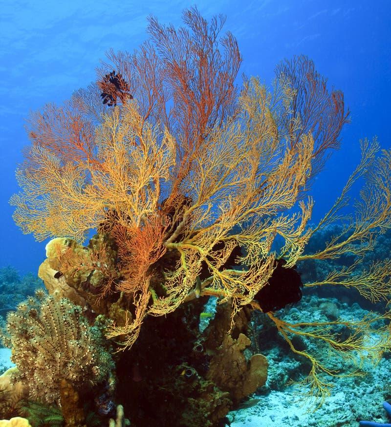 Ventilateur de mer de Gorgonian photo libre de droits