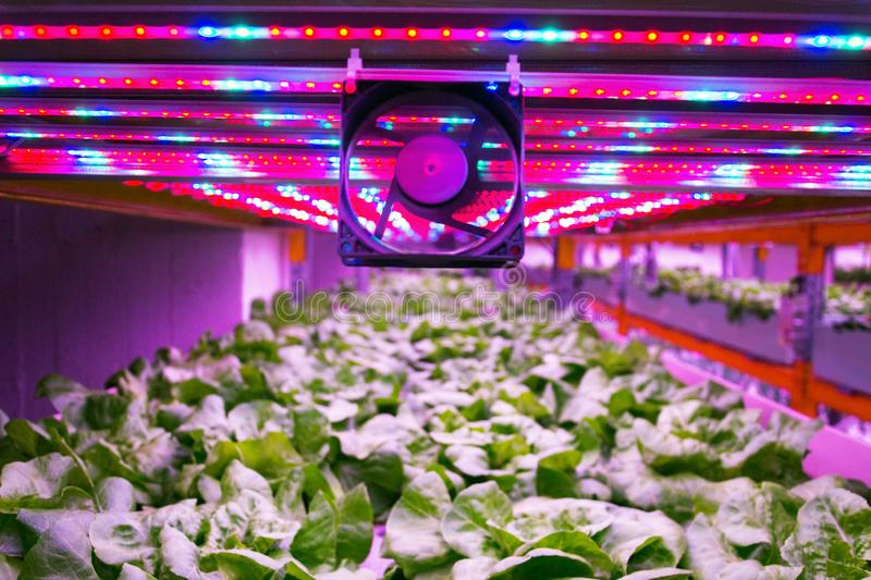 Ventilator and special LED lights belts above lettuce in aquaponics system combining fish aquaculture with hydroponics. Cultivating plants in water under royalty free stock photos