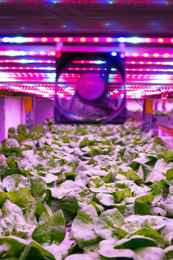 Ventilator and special LED lights belts above lettuce in aquaponics system combining fish aquaculture with hydroponics. Cultivating plants in water under stock images