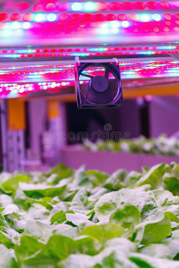 Ventilator and special LED lights belts above lettuce in aquaponics system combining fish aquaculture with hydroponics. Cultivating plants in water under stock photo