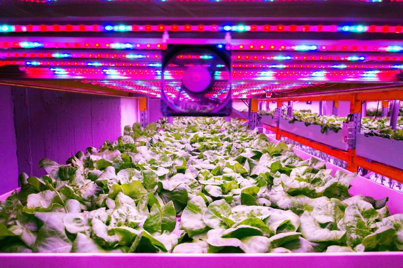 Ventilator and special LED lights belts above lettuce in aquaponics system combining fish aquaculture with hydroponics. Cultivating plants in water under royalty free stock photo