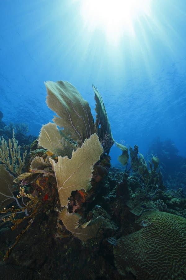 Ventilatore di mare su una barriera corallina tropicale immagine stock libera da diritti