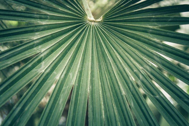 Ventile a folha de uma palma do sabal, palmetto de couve foto de stock royalty free