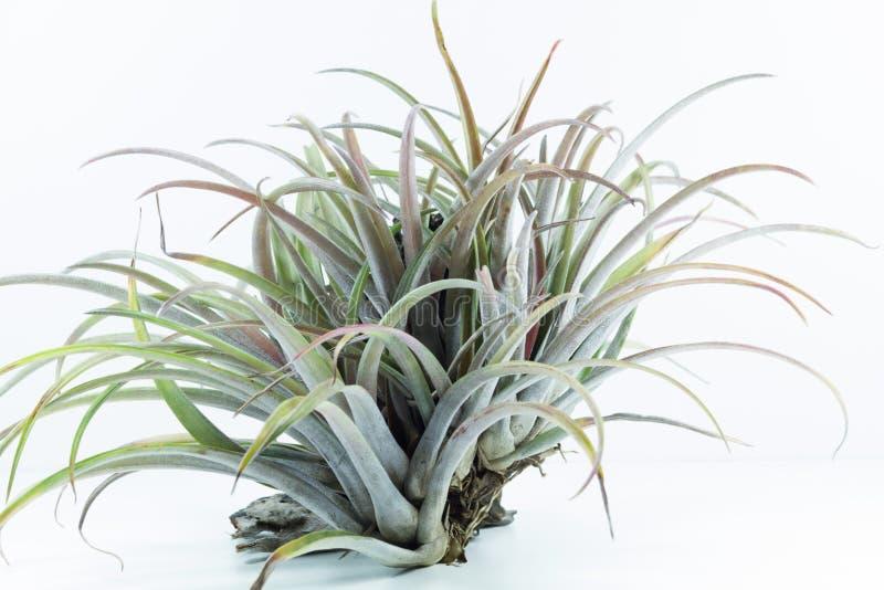 Ventile la planta de la raíz, Tillandsia Capitata, en el fondo blanco fotos de archivo libres de regalías