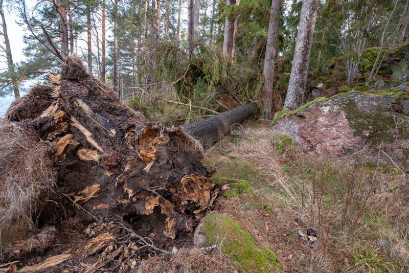 Ventis avec des racines dans une forêt suédoise images stock