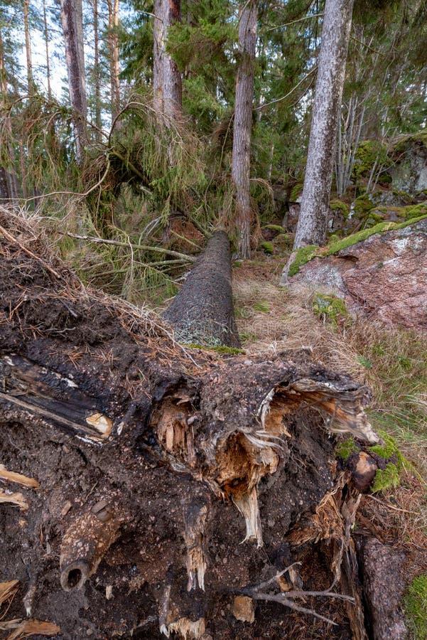 Ventis avec des racines dans une forêt suédoise photo libre de droits