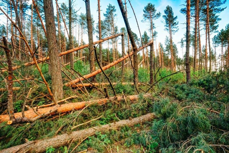 Ventis dans des dommages de tempête de forêt image stock