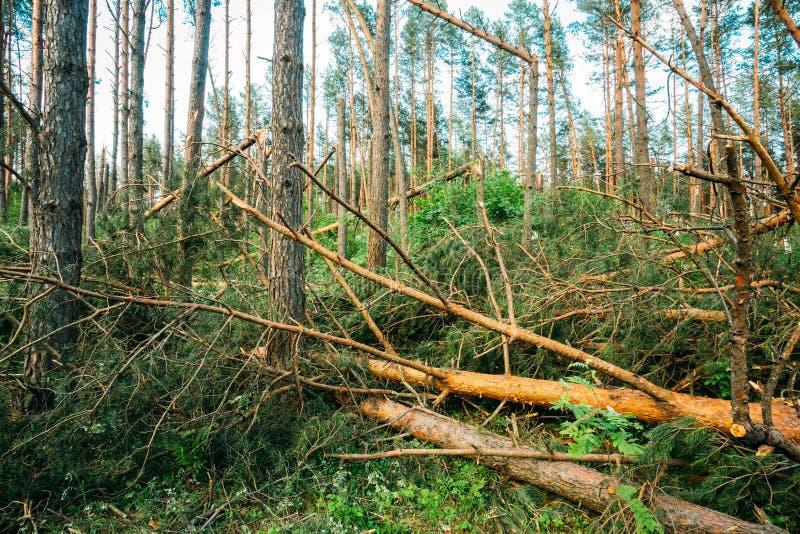 Ventis dans des dommages de tempête de forêt photo libre de droits