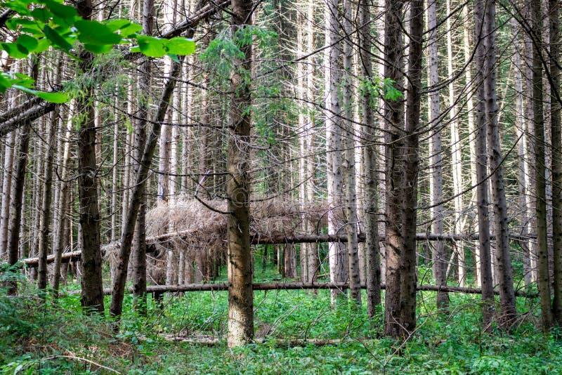 Ventis dans la forêt impeccable images libres de droits