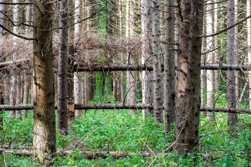 Ventis dans la forêt impeccable photographie stock libre de droits