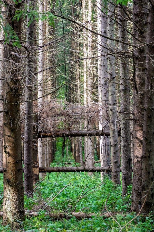 Ventis dans la forêt impeccable photos stock