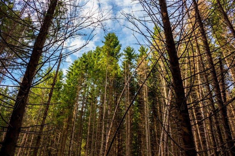 Ventis dans la forêt impeccable image libre de droits