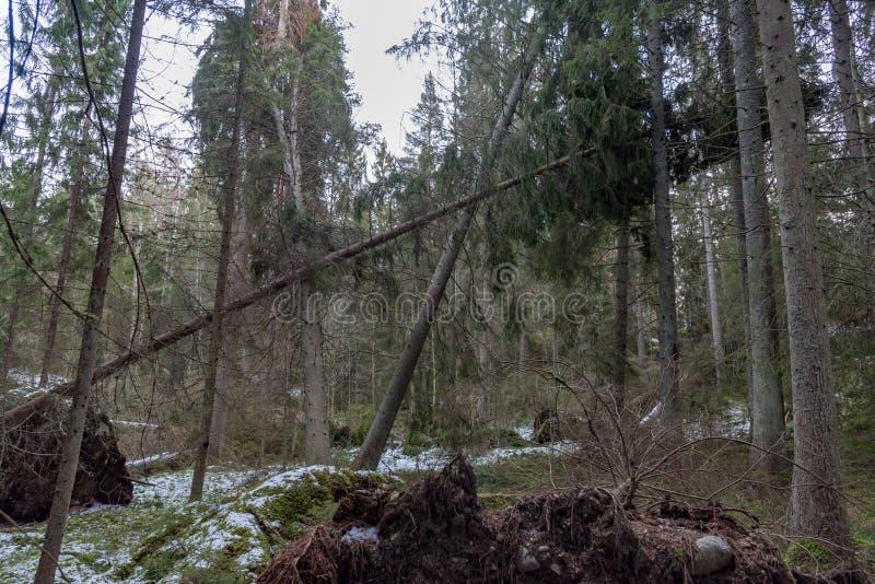 Ventis dans une forêt suédoise après tempête image stock