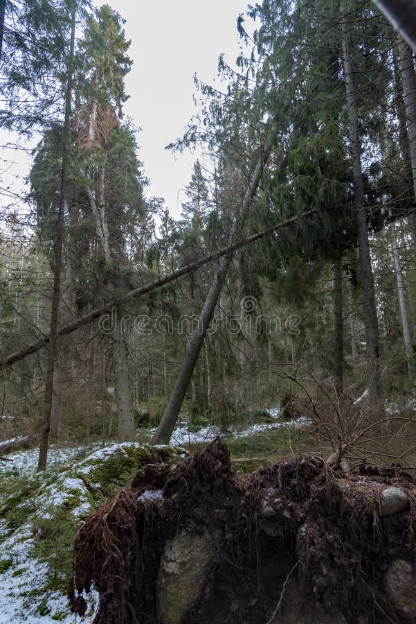 Ventis dans une forêt suédoise après tempête image libre de droits
