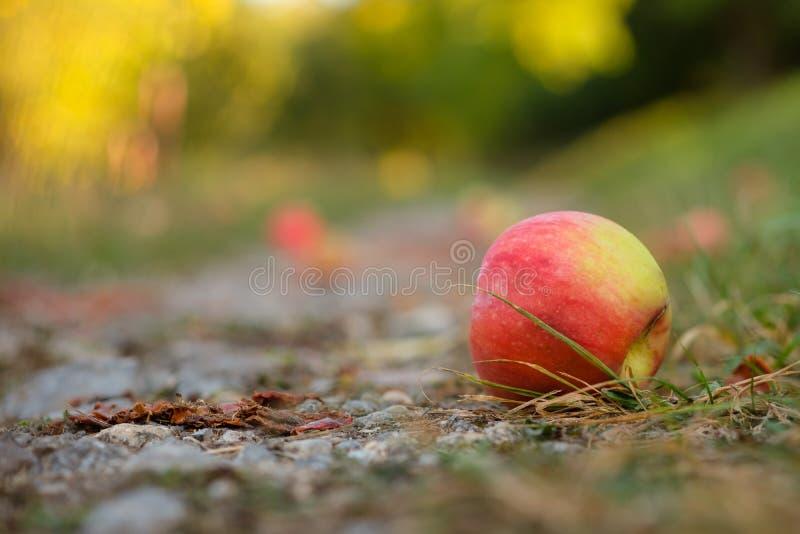 Ventis rouges de pomme au sol photos stock