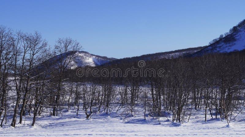 Ventiseiesimo gennaio, 2019 - foresta di inverno nella città di Viljucinsk, penisola di Kamchatka, Russia fotografia stock libera da diritti