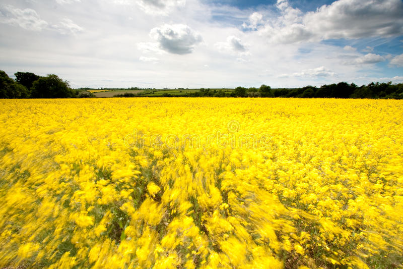Vento no campo amarelo foto de stock