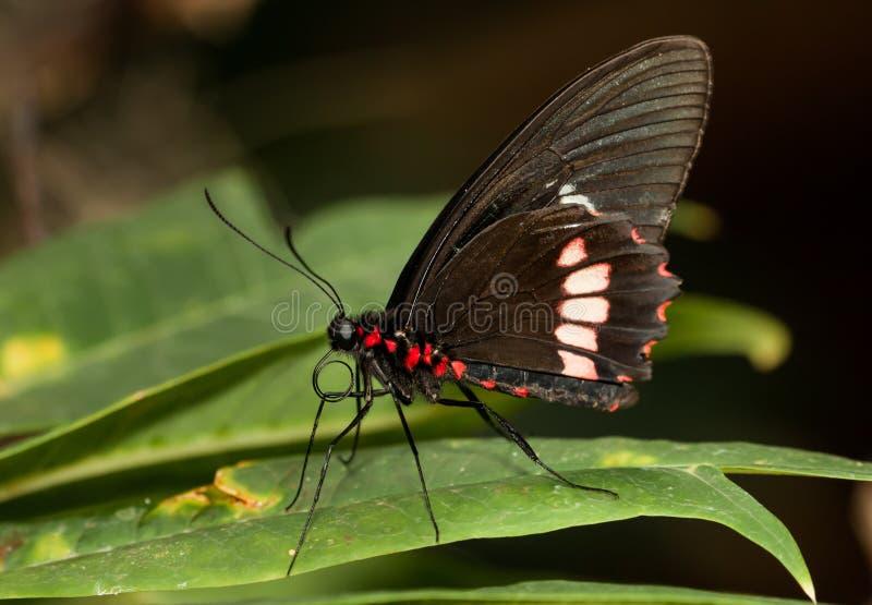 Ρόδινος αυξήθηκε Swallowtail στοκ εικόνες με δικαίωμα ελεύθερης χρήσης