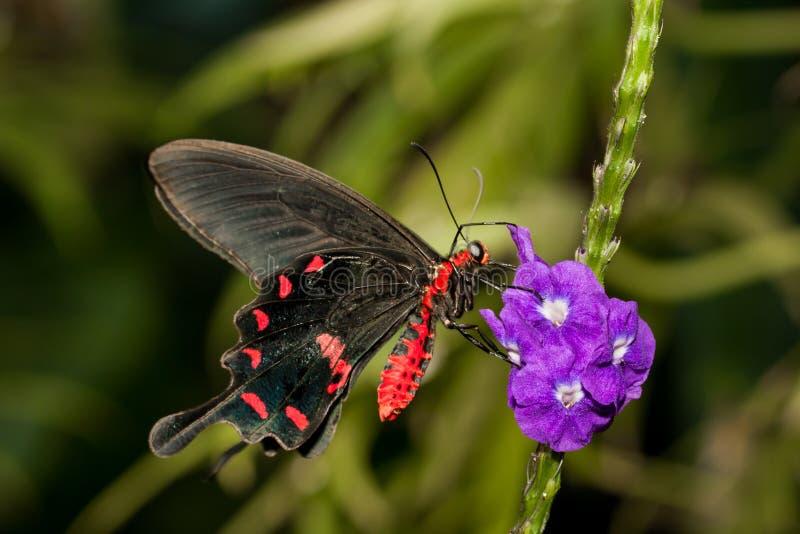 Οδοντώστε αυξήθηκε Swallowtail στοκ φωτογραφία