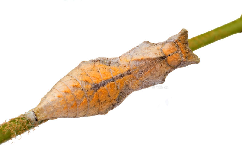 Ventral Swallowtail Butterfly Pupa stock images