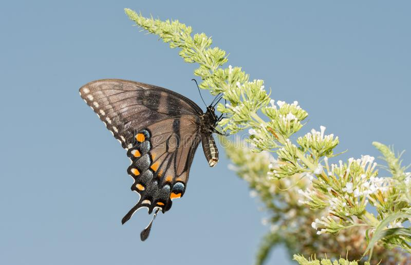Dark morph of female Eastern Tiger Swallowtail butterfly feeding on a white Buddleia stock image