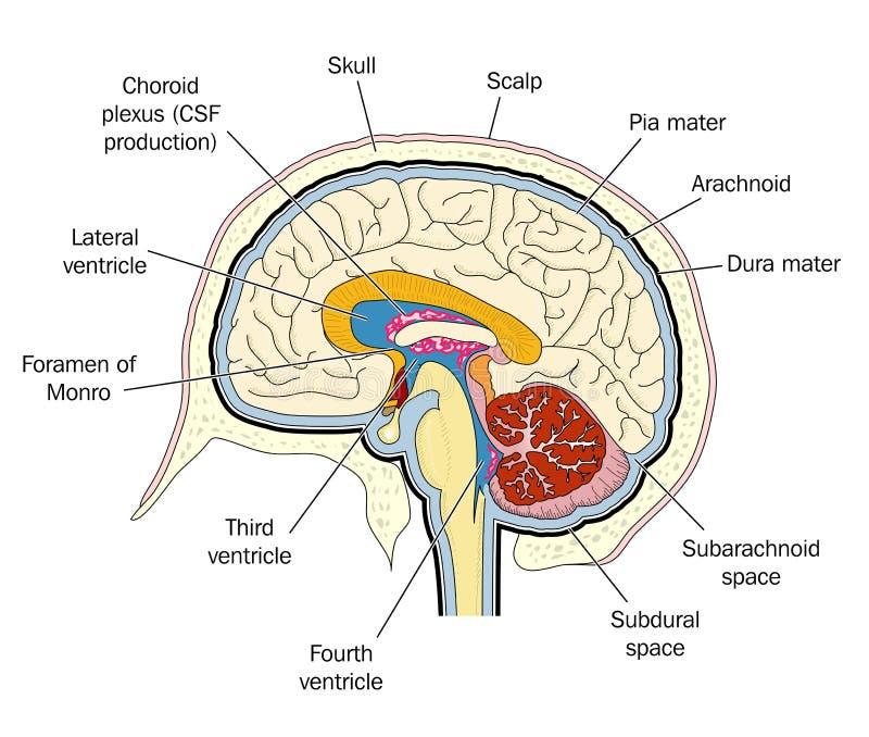Ventrikels van de hersenen stock illustratie