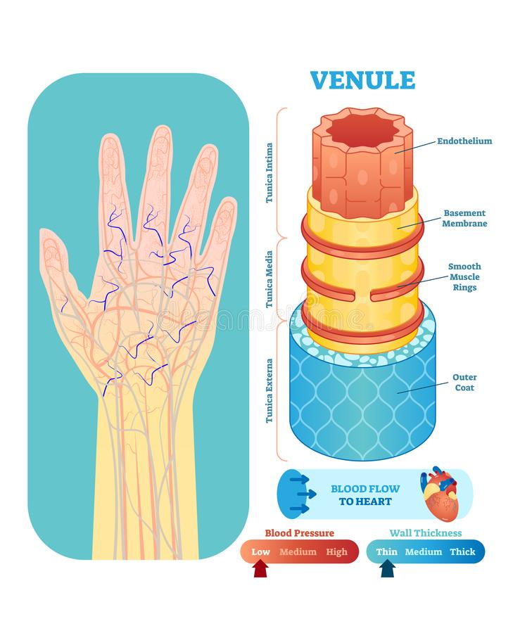 Venule anatomical vector illustration cross section. Circulatory system blood vessel diagram scheme on human hand silhouette. royalty free illustration