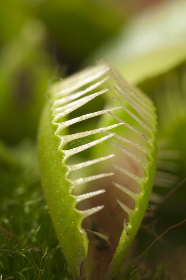 venus макроса flytrap стоковое фото
