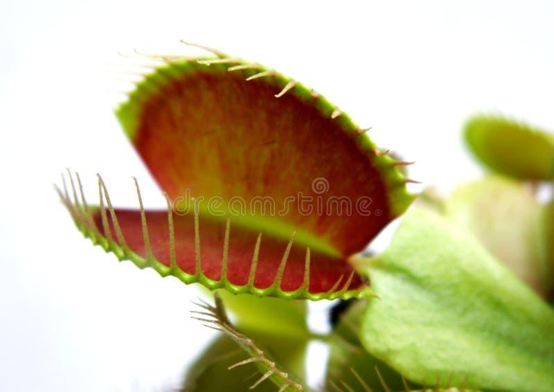 Venus Fliegenfalle stockfotos